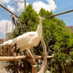 Photo Friday – Albino Peacock – San Luis Potosi, Mexico