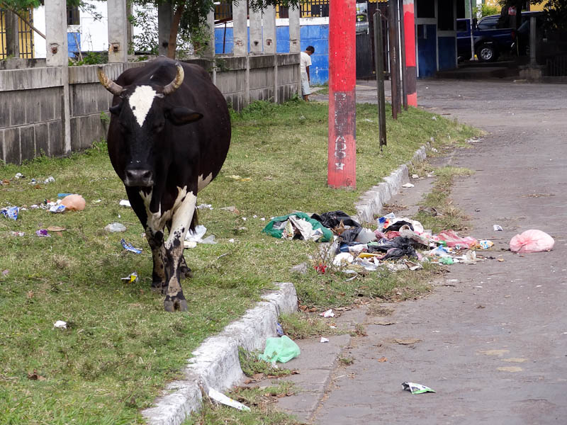 Grazing Cow And Street Garbage In Granada, Nicaragua
