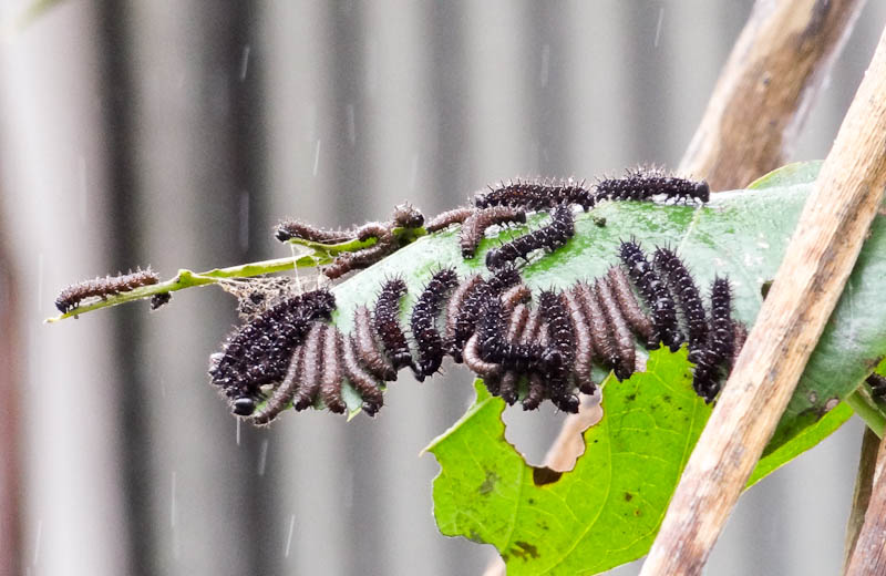 Caterpillars on a leaf in Costa Rica
