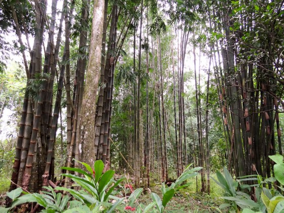 Bamboo In Costa Rica