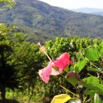 Photo Friday - Flower With A View - Chichica, Panama