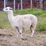 The First Llama I've Seen In The Wild - Popayan, Colombia