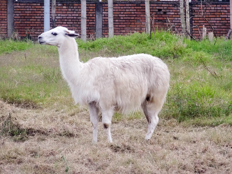 The First Llama I've Seen In The Wild