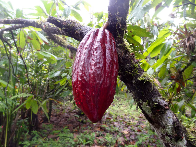 Cacao - Where Chocolate Comes From