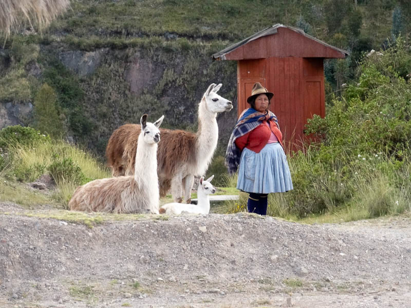 A Woman With Her Llamas