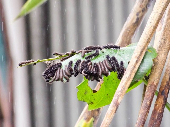 Caterpillars On A Leaf In The Rain - Cartago, Costa Rica
