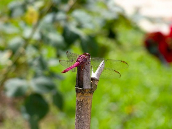 Dragonfly - Medellin, Colombia