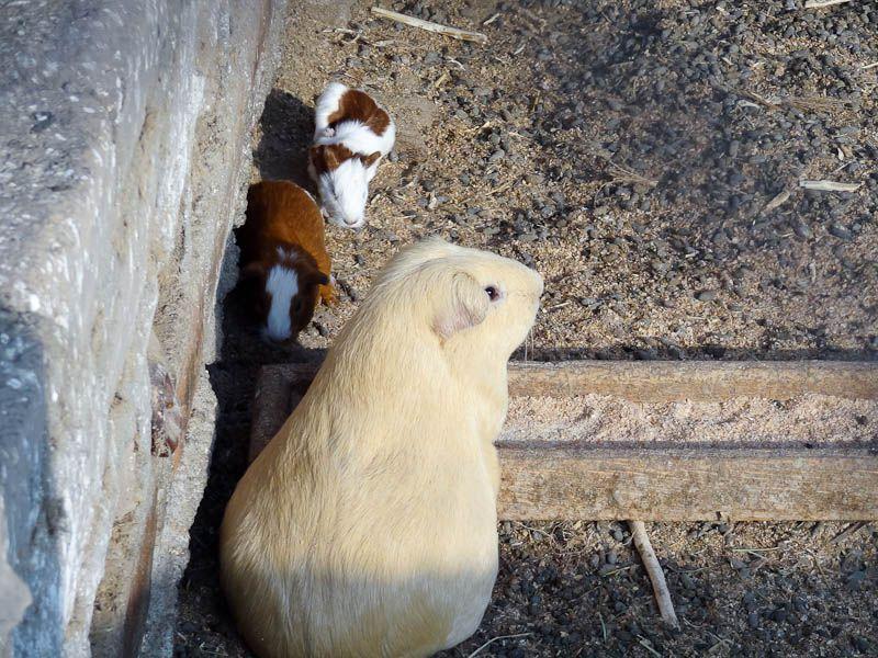 Farm - Guinea Pigs