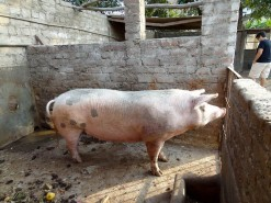 Farm - Pig