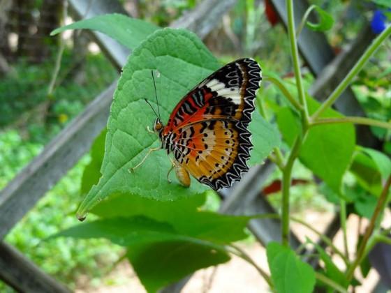 Butterflies (3)