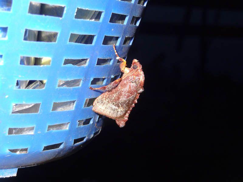 Moth Maybe