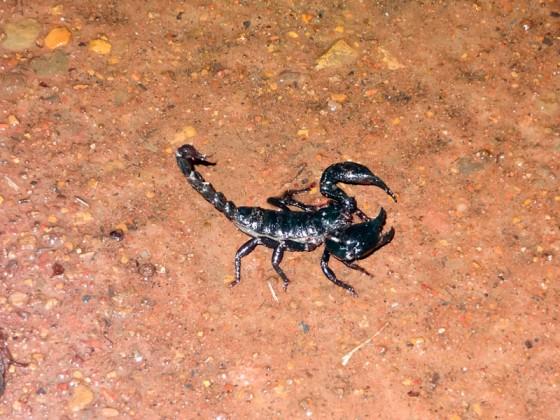 A Black Scorpion