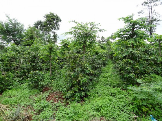 Coffee Now Grown On The Base