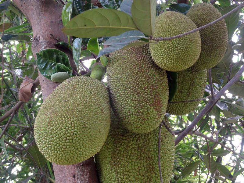Exotic Fruit - Jackfruit