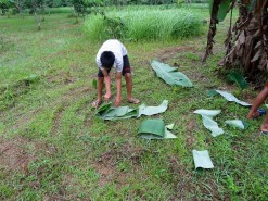Collecting Banana Leaves