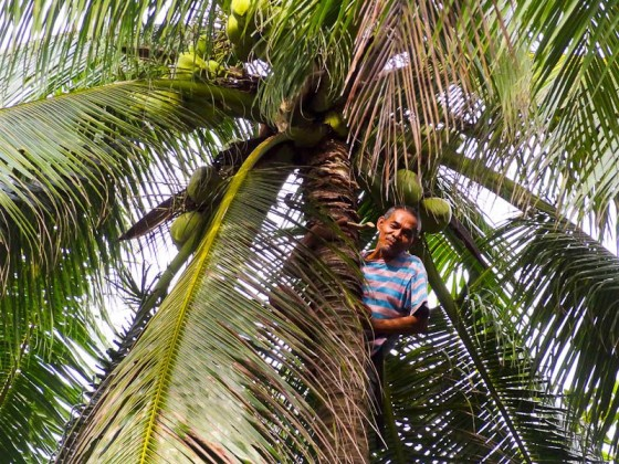 filipino spiderman in a coconut tree