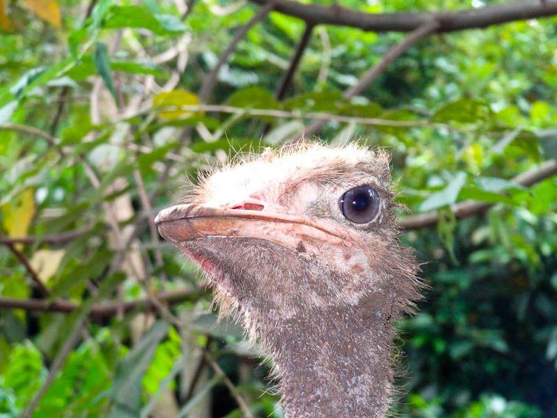 ostrich face