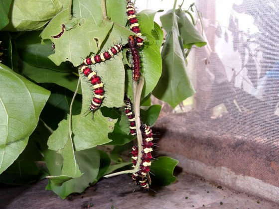 Cambodian Caterpillars