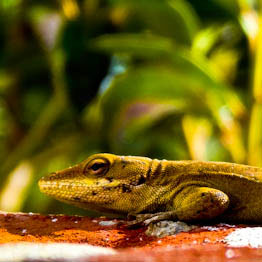 Gecko Safari Thumb