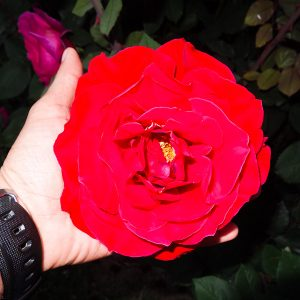 A Rose As Big As My Hand - Taken 1-May-2013 - Kyrenia, Turkish Republic Of Northern Cyprus