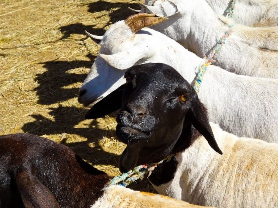 Goats For Sale - A Plea For Clemency