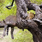 Lazy Leopard Napping In A Tree - Taken 15-Jan-2014 - Serengeti, Tanzania