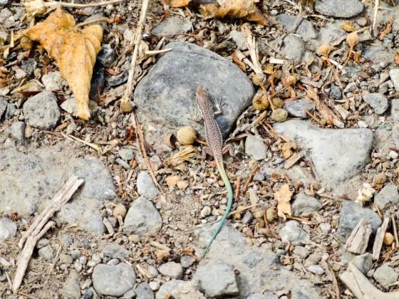 Blue Tail Lizard In Shushi