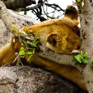 Lion + Flying Gecko - Taken 16-Jan-2014 - Serengeti, Tanzania