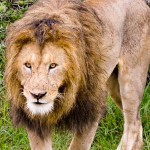 A Male Lion Approaching