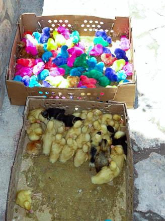 colored chickens for sale in cerro san pedro