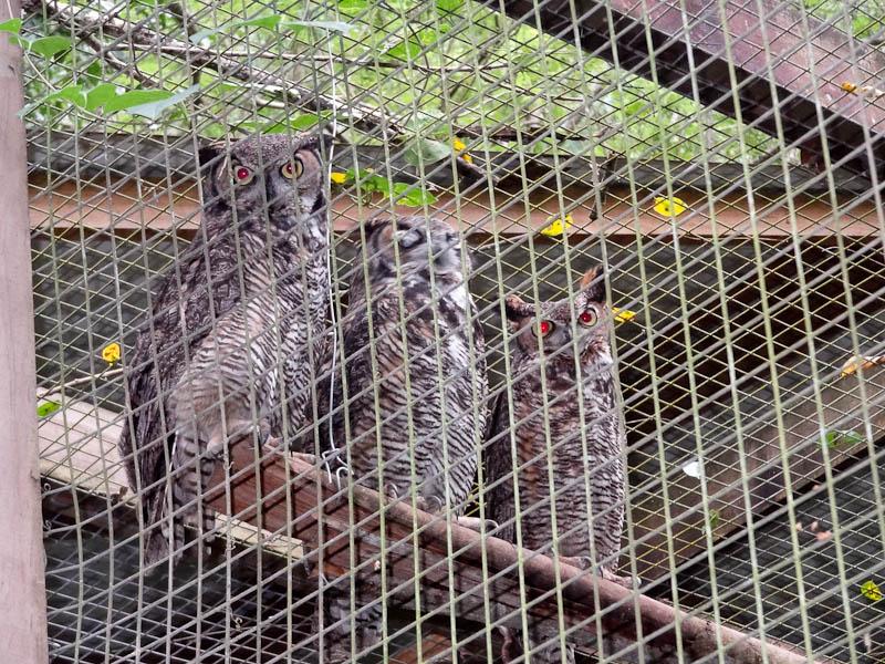 Owls at Macaw Mountain Bird Park in Honduras