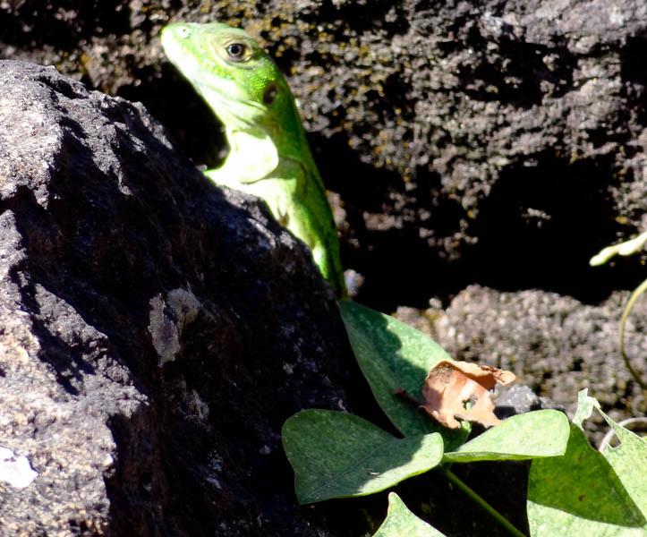 Salvadoran Iguana - Taken Nov 2, 2011 - Yoloaiquin, El Salvador