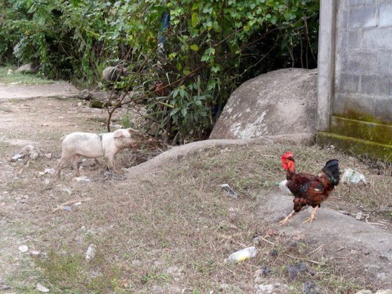 A Pig And Rooster Outside A House