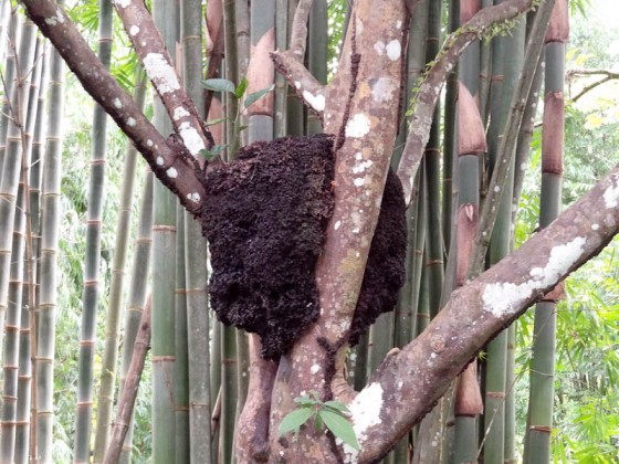 Termite Mound In A Tree