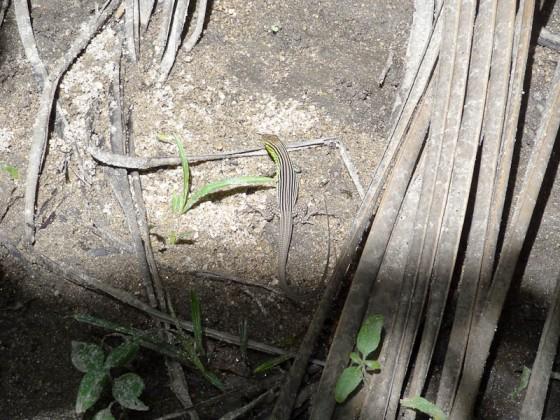 A Baby Iguana