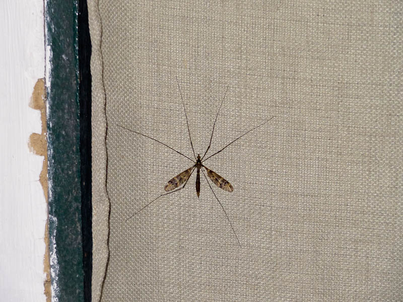 Huge Moth On Bedroom Curtain
