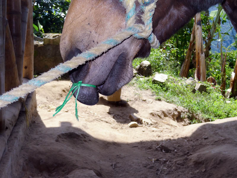 Tying The Horse's Lip To Distract It From Its Shoe Installation