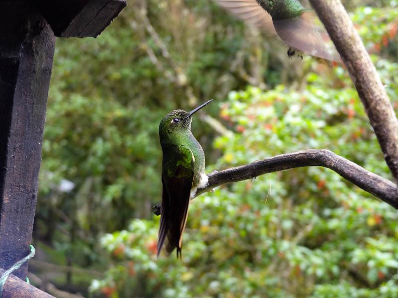 Acaime - Humming Birds