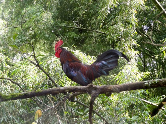 Rooster Climbing A Tree