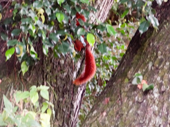 Beautiful Red Squirrel