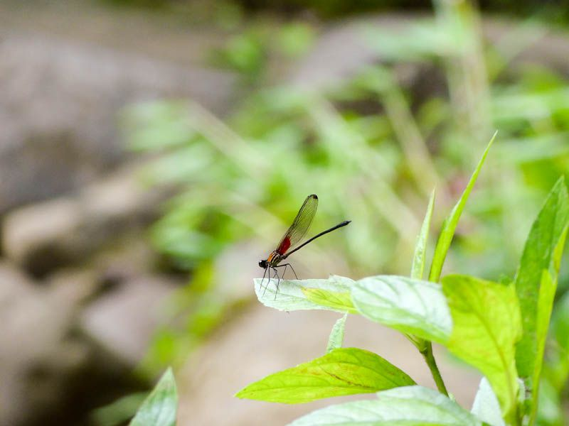 Dragonfly - Londres, Costa Rica