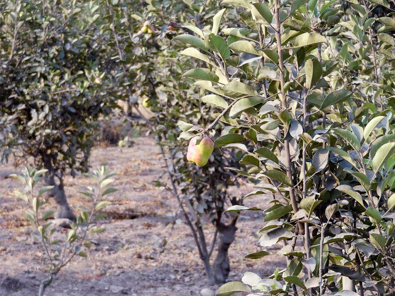 Farm - Apple