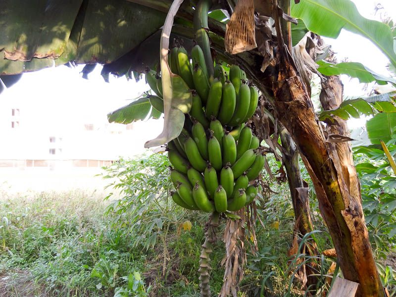 Farm - Bananas