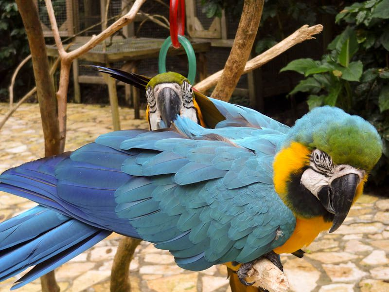 Maccaw Mountain Bird Park - Honduras
