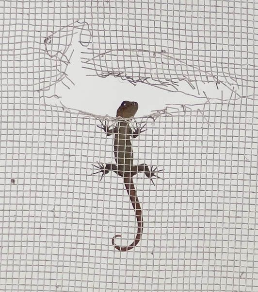 Peeping Tom Gecko - Londres, Costa Rica
