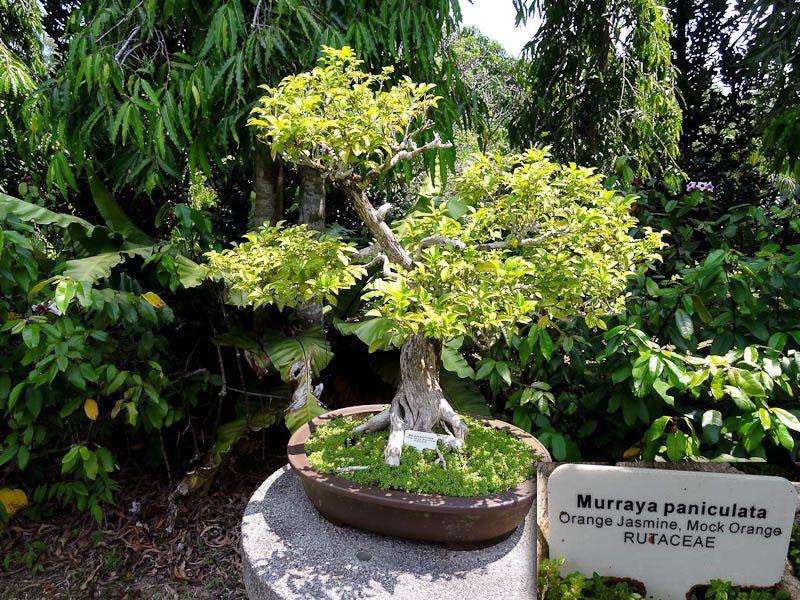 Botanical Garden - My Family's Bonzai Tree