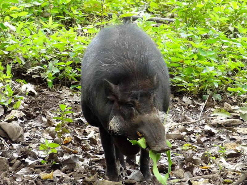 An Ugly Wild Pig