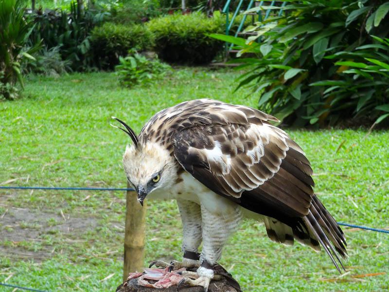 The Philippine Eagle