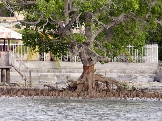 A Skinned Mangrove Tree