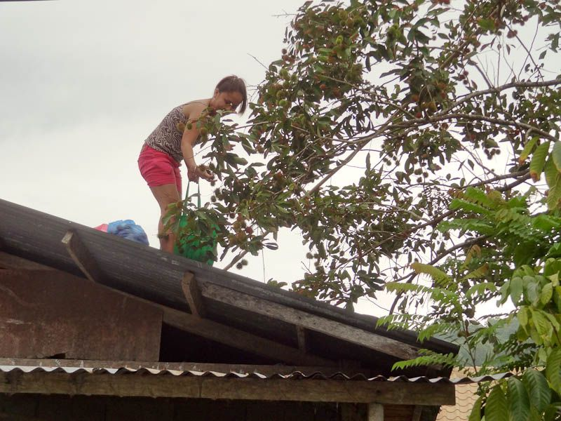 Harvesting Lyches On The Roof